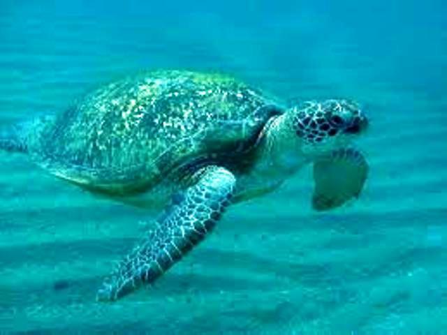 lampedusa turtle