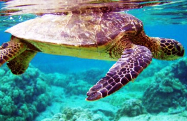 Linosa turtle