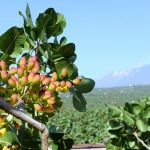 The true and the false Bronte pistachio